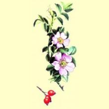 Aceite de Rosa Mosqueta - 200 ml